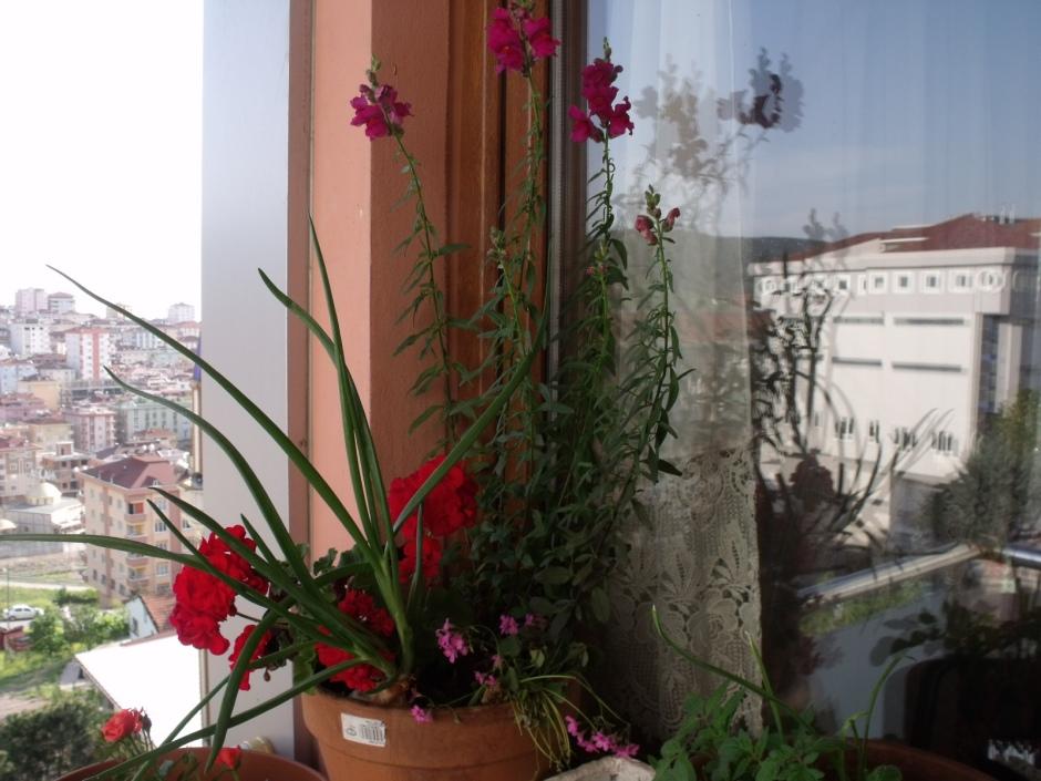 Elime geçen çiçekleri ekmişim...Aslan ağzı 3 yıldır ilk defa açtı hayret yani...